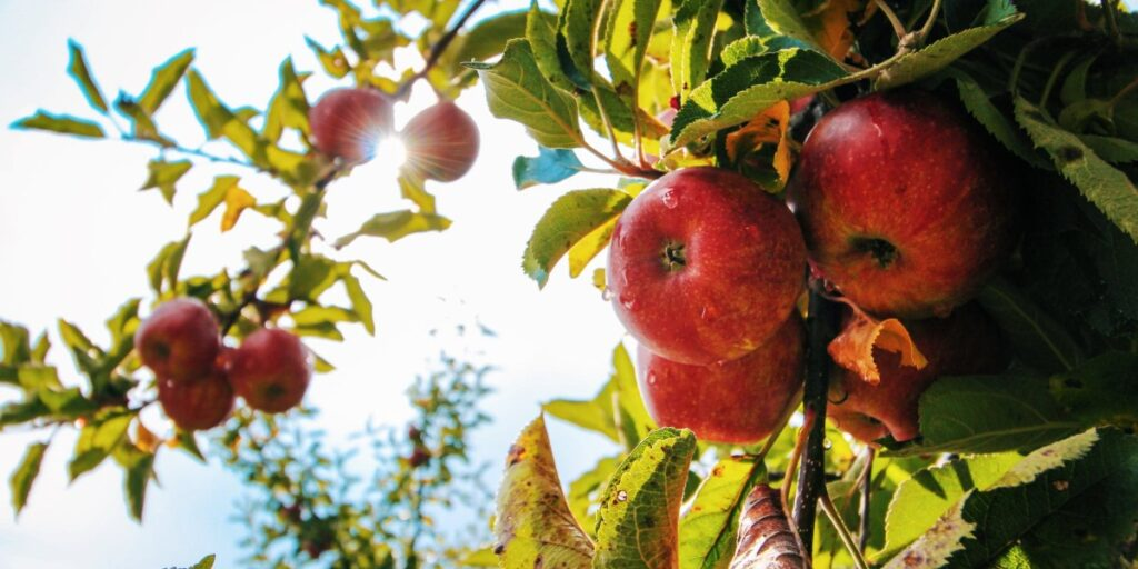 A Harvest of Abundant Fruit I Daily Walk Devotion
